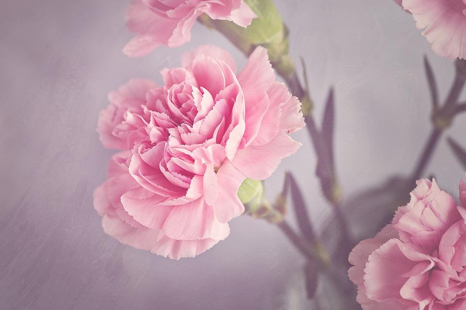 carnation-1323882_960_720
