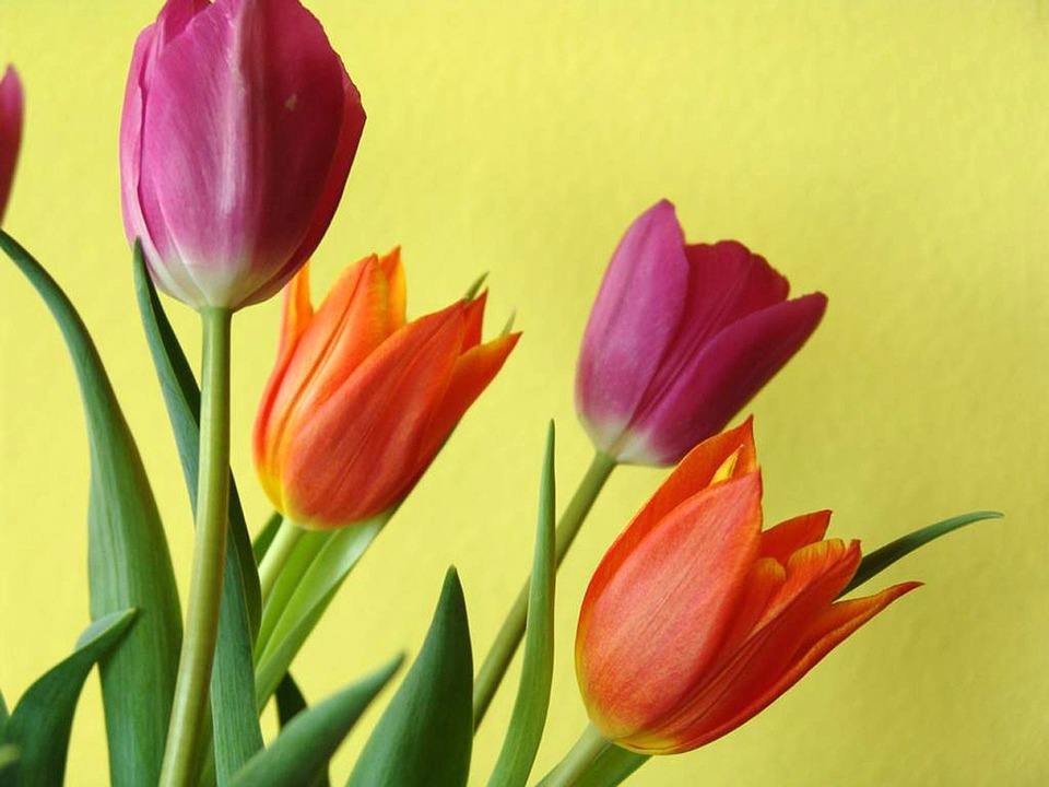 tulips-14796_960_720