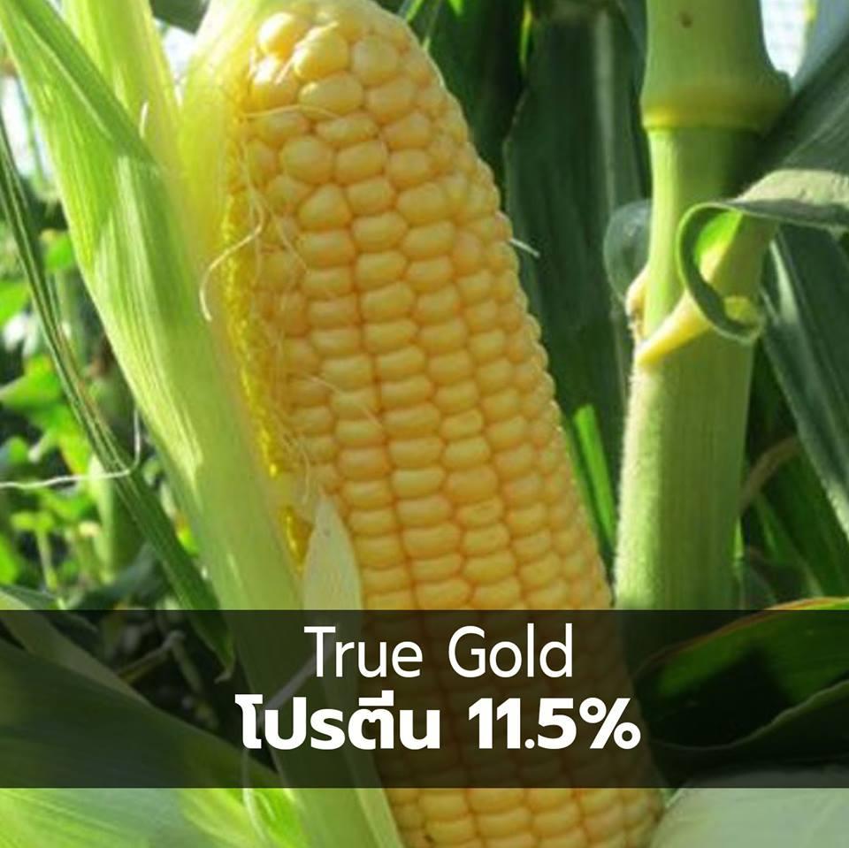 corn 06